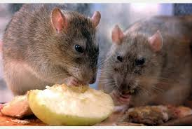 Poison-Resistant Super Rats – Sometimes the Headlines Write Themselves